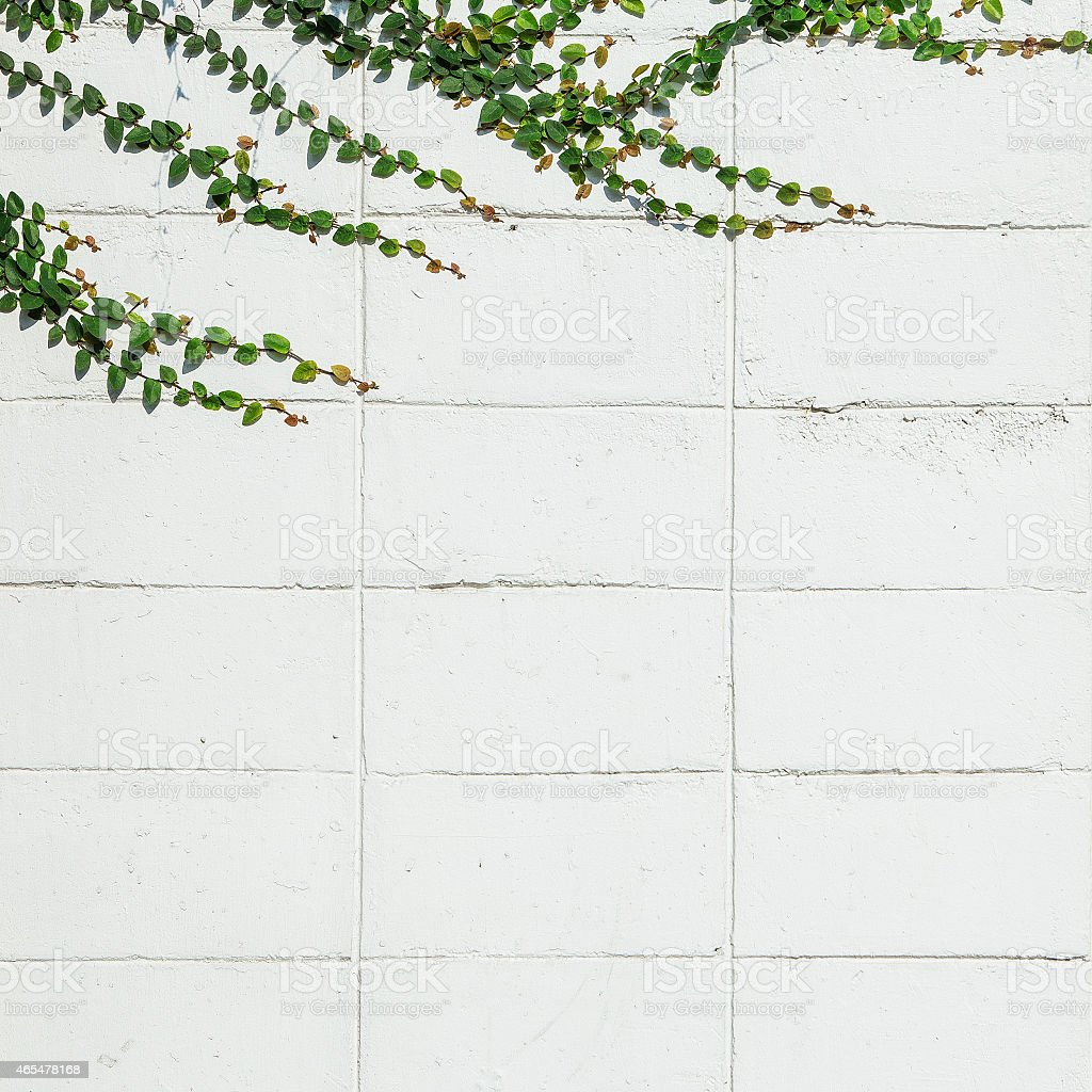 Ivy leaves the island on a brick wall white background. stock photo