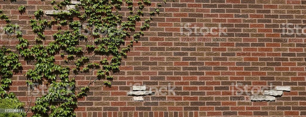 Ivy on a Brick Wall royalty-free stock photo
