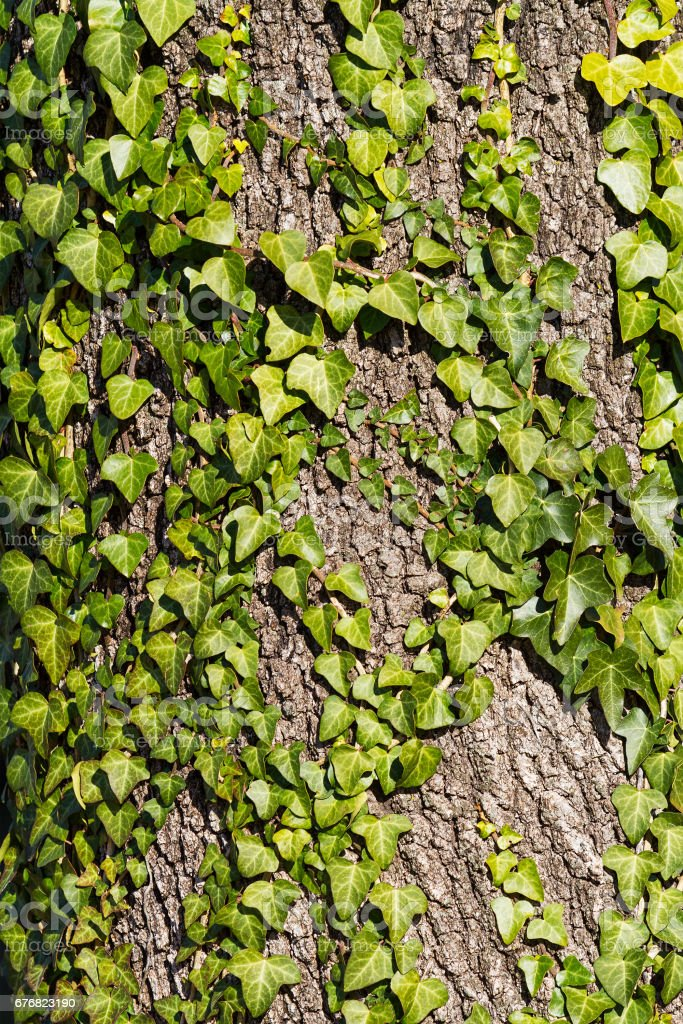 Ivy on a tree stem, nature background. stock photo