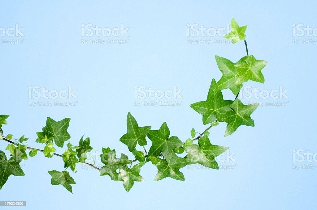 Ivy on Blue stock photo