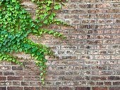 Boston Ivy on old brick wall.   iPhone
