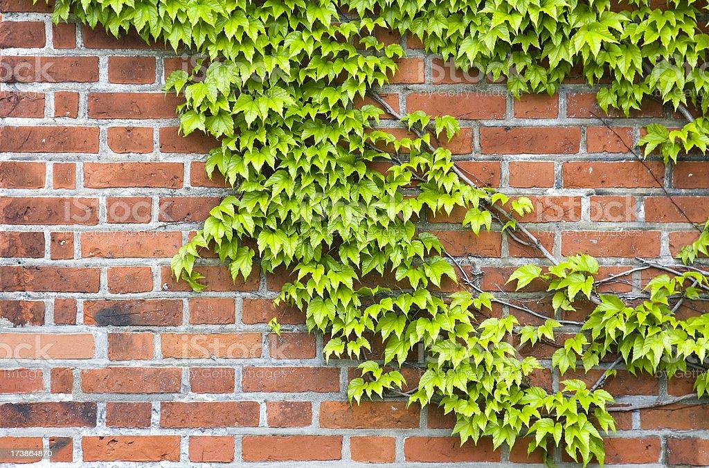 Ivy on brick wall stock photo
