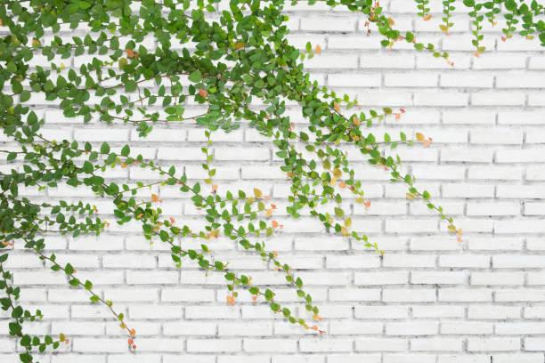 ivy on bricks wall for background. - ivy building imagens e fotografias de stock