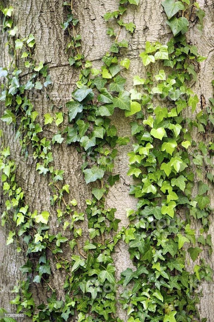Ivy on old tree royalty-free stock photo