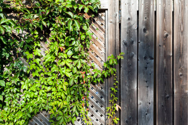 ivy on old wooden background stock photo
