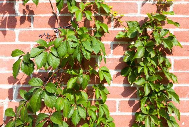 ivy on red brick background stock photo