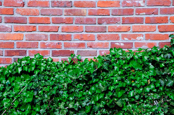 Ivy on Red Brick Wall stock photo