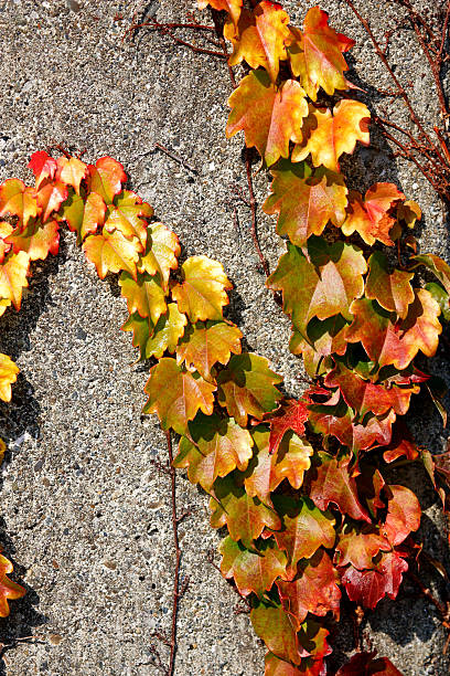 Ivy auf Stone – Foto
