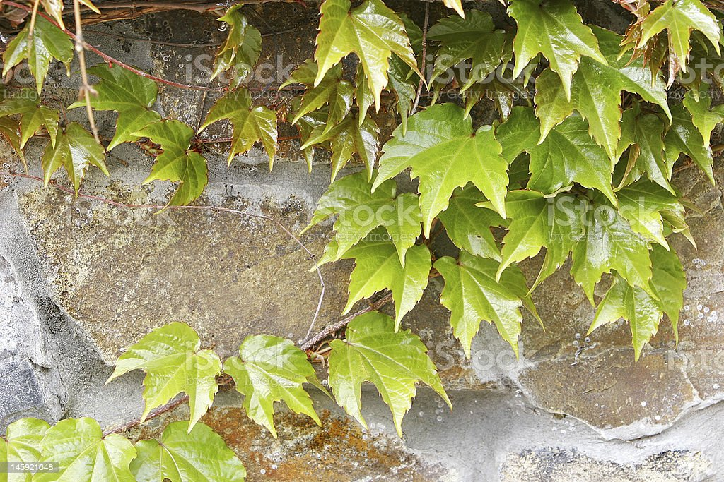 ivy on stone wall royalty-free stock photo