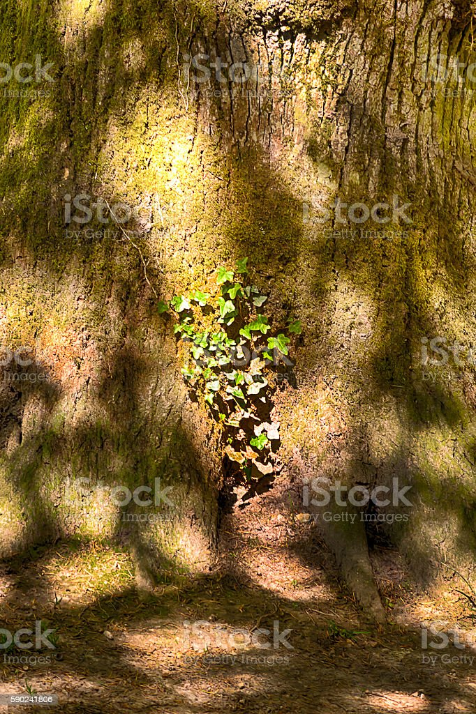 Ivy on the tree lighted by sunlight stock photo