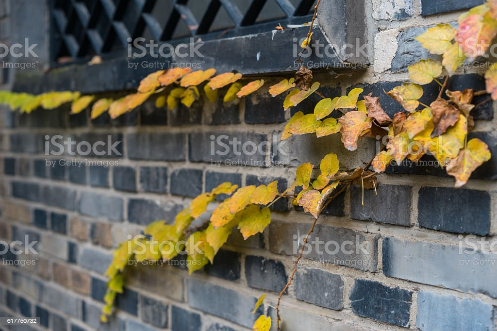 ivy on the wall stock photo