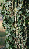 Close up of ivy on a tree