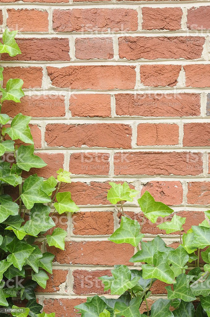 Ivy on Wall royalty-free stock photo