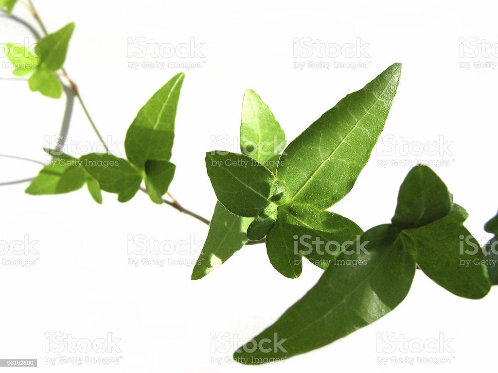 Ivy on white background 4 royalty-free stock photo
