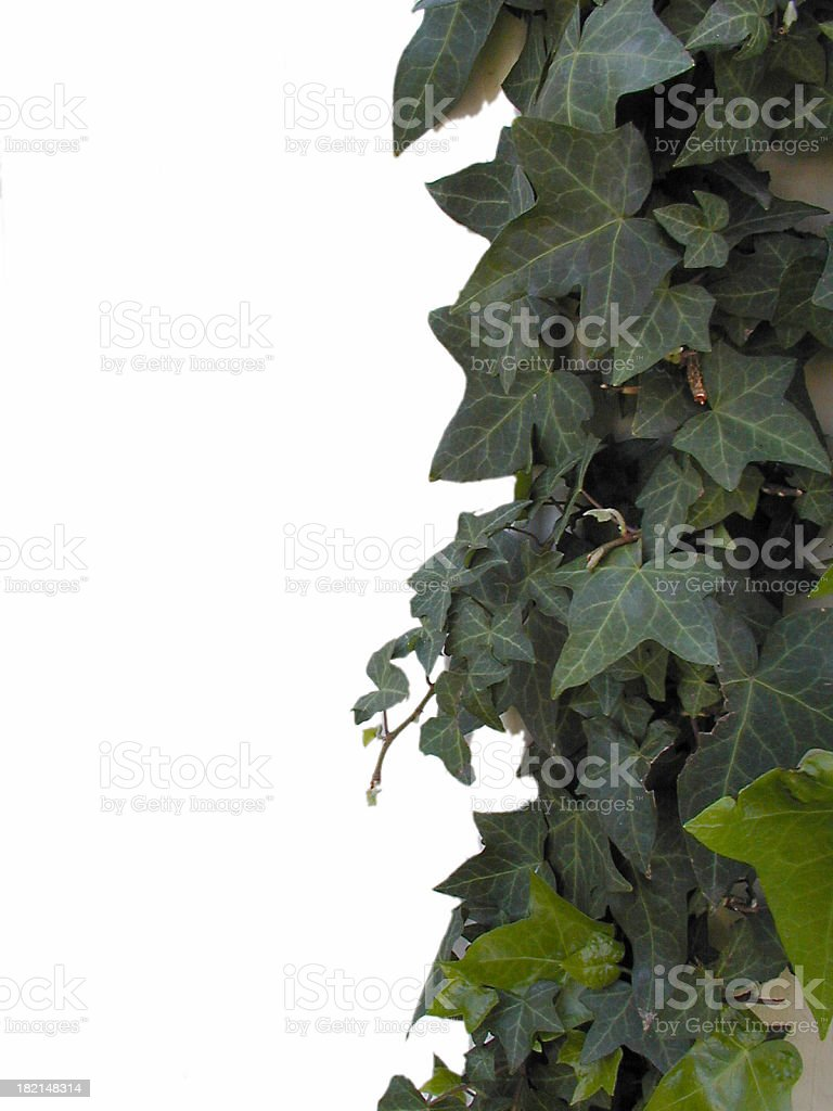 Ivy On White Background royalty-free stock photo
