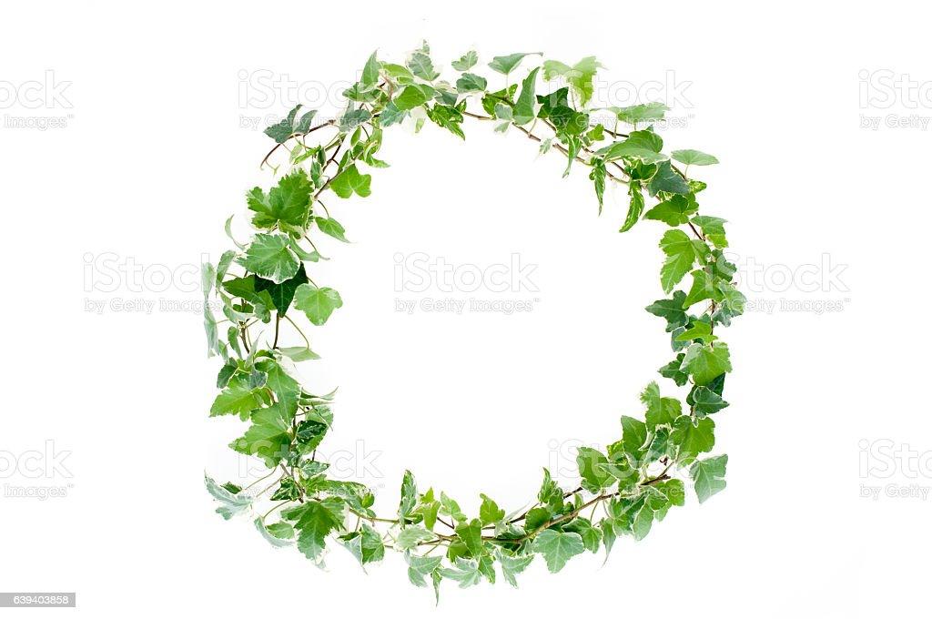 Ivy on white background stock photo