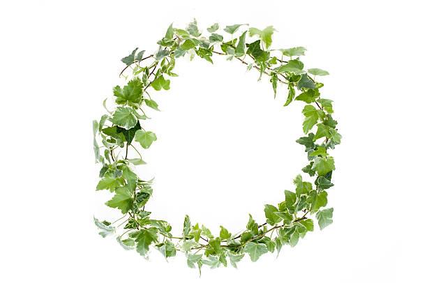 ivy に白背景 - リース ストックフォトと画像