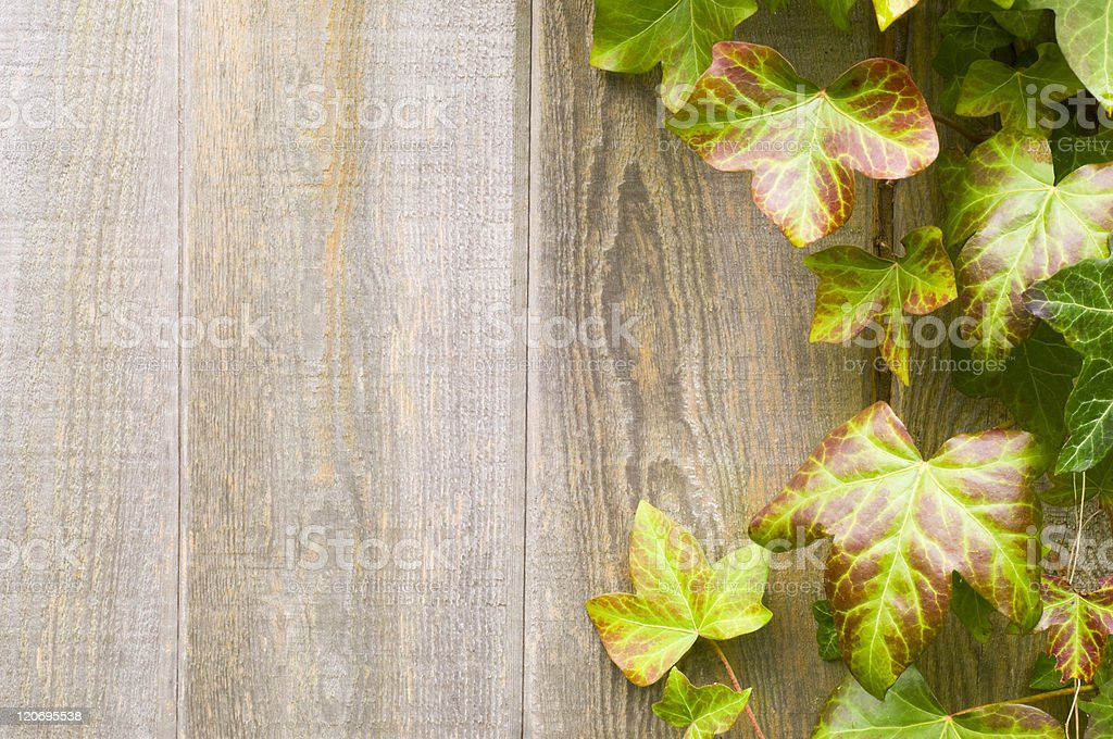 Ivy on wood fence royalty-free stock photo