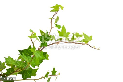 Of green ivy plant isolated against a white background digital illustration. Ivy leaves are highly concentrated at the bottom of the picture frame becomes more sparse horizontal root climbs. ivy curls on a horizontal image.