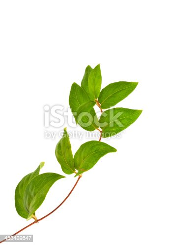 White background illustration of green ivy plant isolated against digital. Ivy leaves vertical leaves  growing ivy leaves twisted back on top of the image at high rates.