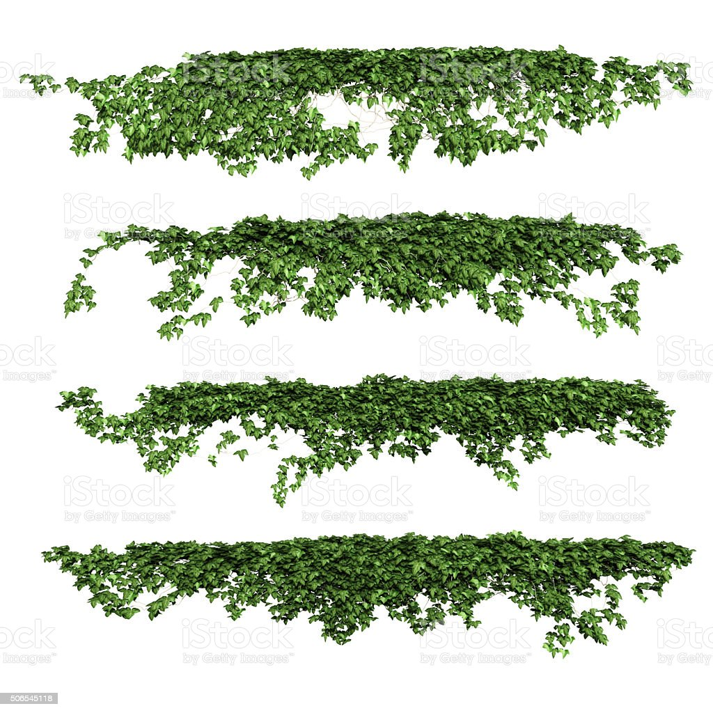 ivy stock photo