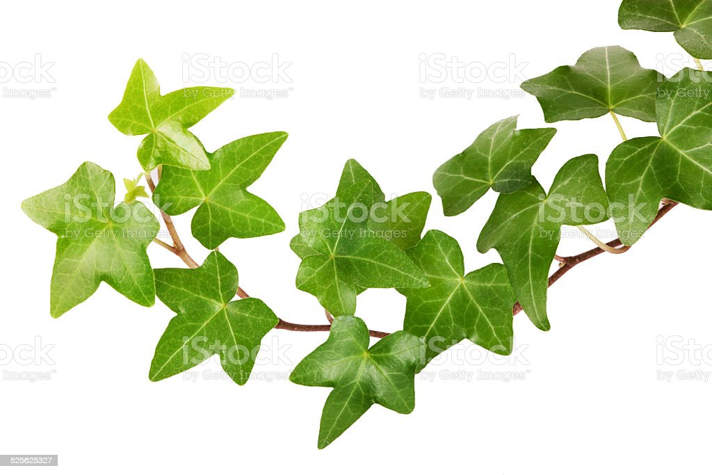 Ivy - Royalty-free Blad Stockfoto