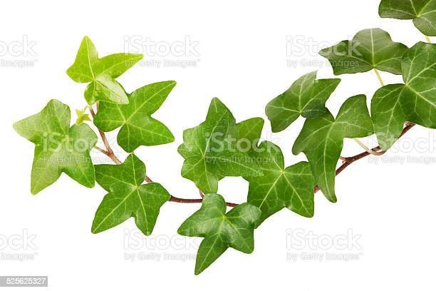 Ivy Stockfoto en meer beelden van Blad