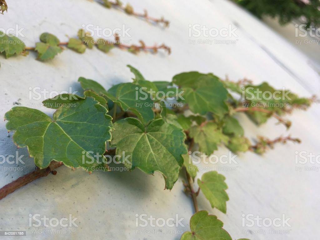 담쟁이,Ivy stock photo