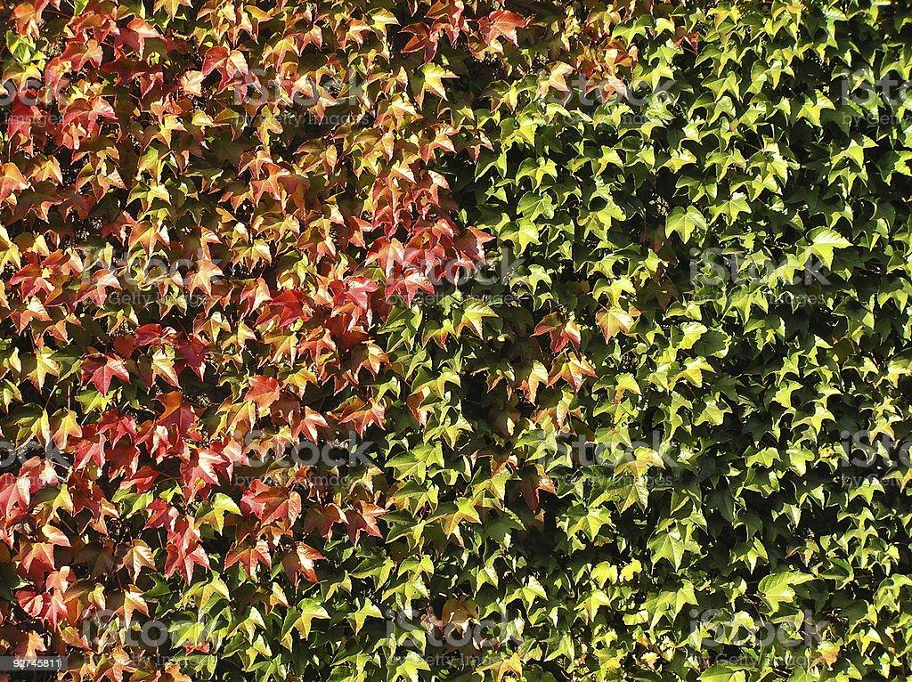 Ivy royalty-free stock photo