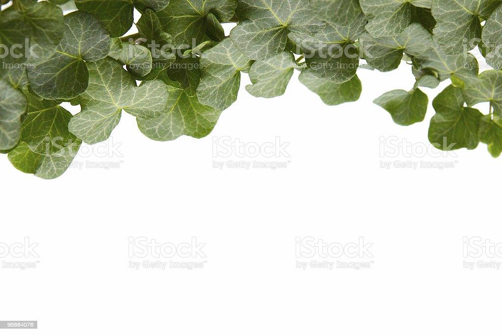 Ivy Lizenzfreies stock-foto