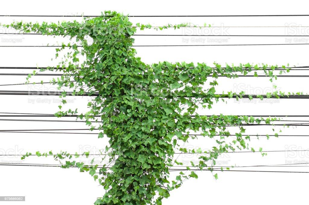 Efeu Pflanze Hängen Draht Elektrisch Isolieren Weißen Hintergrund ...