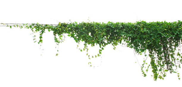 Efeu Pflanze isoliert auf weißem Hintergrund – Foto