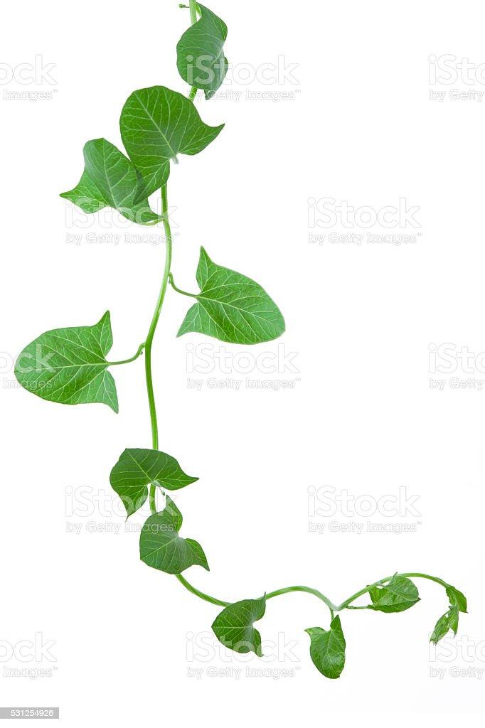 Efeu Pflanzen, isoliert auf weiss, Mit clipping-Pfad enthalten. – Foto