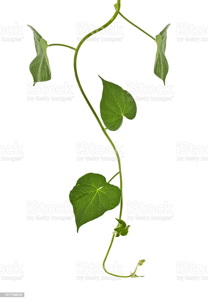 ivy plant, stock photo