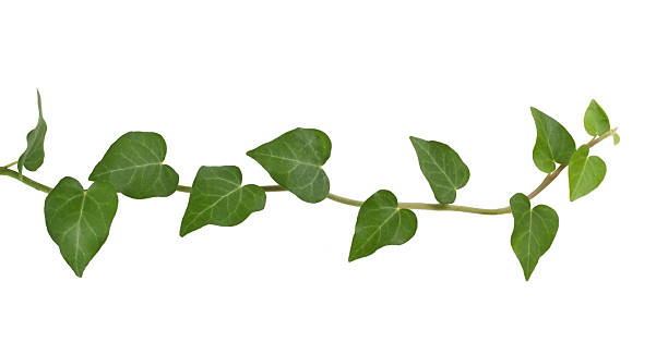 ivy plant. - slingerväxt bildbanksfoton och bilder