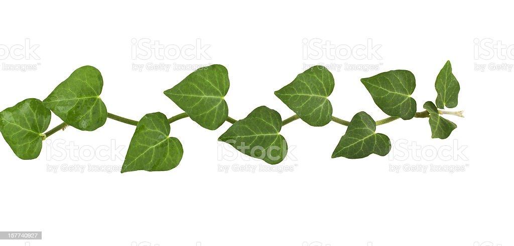 ivy plant, royalty-free stock photo