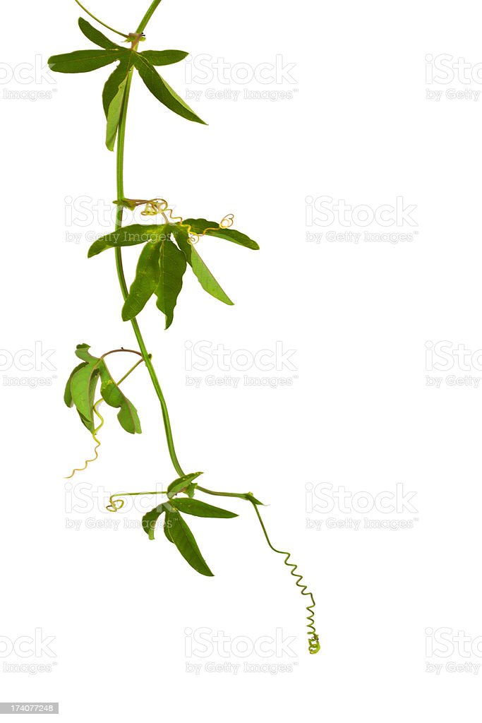 ivy plant, royalty-free stock photo
