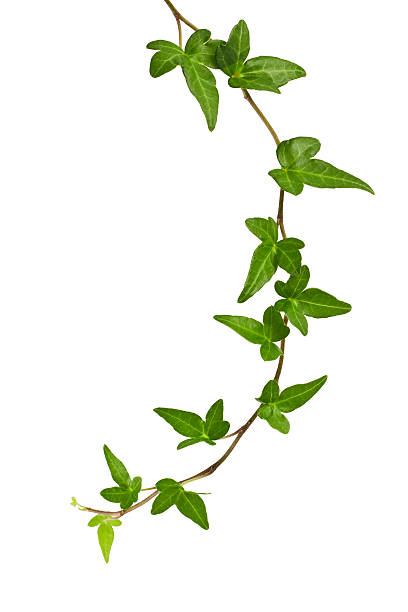 ivy plant. - murgröna bildbanksfoton och bilder