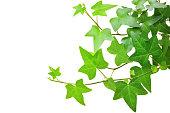 Ivy 植物