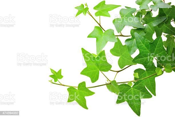 Ivy plant picture id474394032?b=1&k=6&m=474394032&s=612x612&h=webshex3inypqsu q8vvxrtbomkeo1hh4cof1z9qtyw=