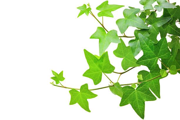 ivy plant - murgröna bildbanksfoton och bilder