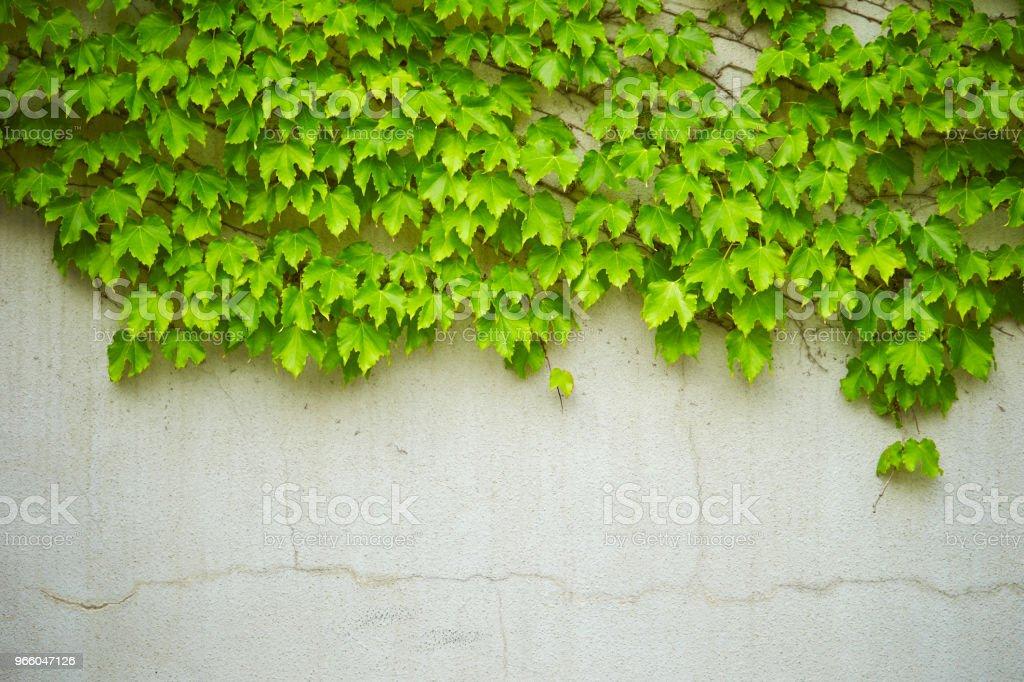 Murgröna växt - Royaltyfri Botanik Bildbanksbilder