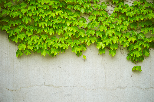 Murgröna Växt-foton och fler bilder på Botanik