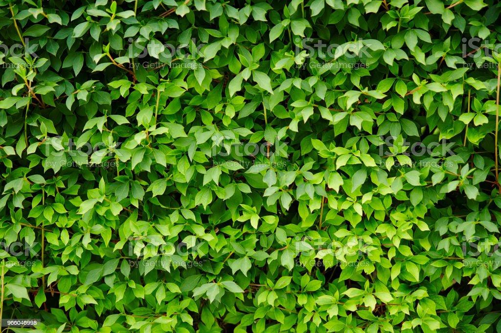 Ivy planten - Royalty-free Blad Stockfoto