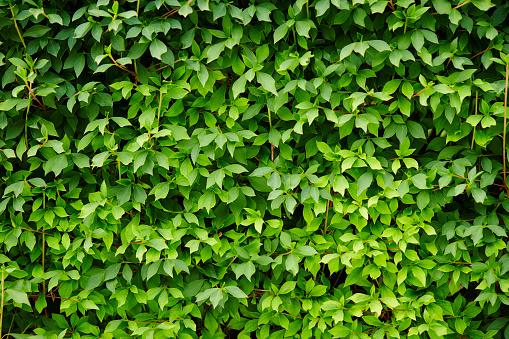 Ivy Planten Stockfoto en meer beelden van Blad