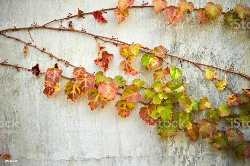 Ivy växter - Royaltyfri Botanik Bildbanksbilder