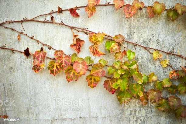 Ivy Växter-foton och fler bilder på Botanik