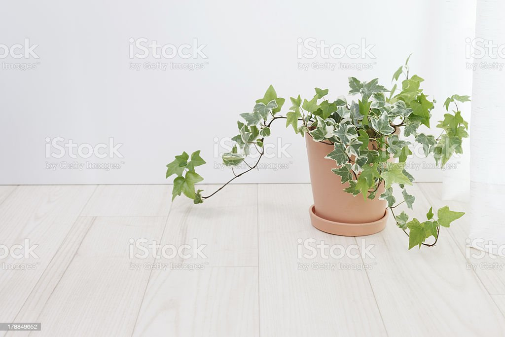 Ivy potted stock photo