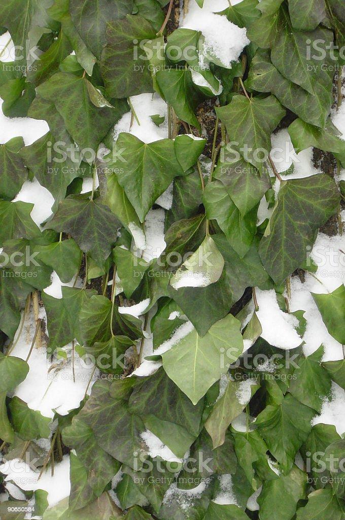 Ivy Snow royalty-free stock photo