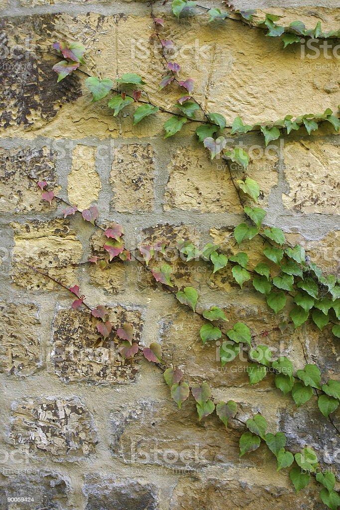 ivy spreading across a stone wall royalty-free stock photo